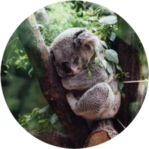 Sleeping koala: What Is Sleep Deprivation?
