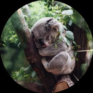 Koala sleeping on a tree... What Is Sleep Deprivation
