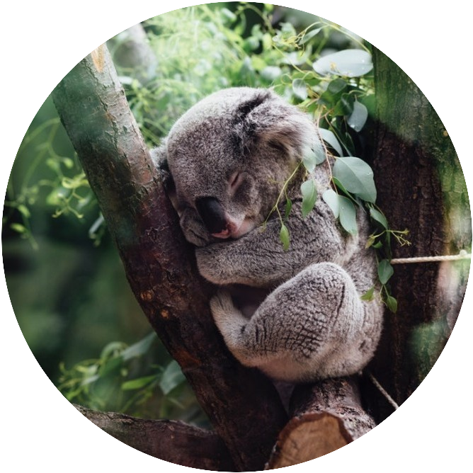 Koala sleeping on a tree... What Is Sleep Deprivation