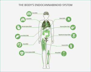 What is CBD Hemp Oil? || What is cannabidiol oil for? -- Endocannabinoid System (ECS)