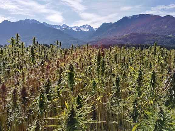 What is CBD Hemp Oil? | | What is cannabidiol oil for? -- Industrial Hemp Field
